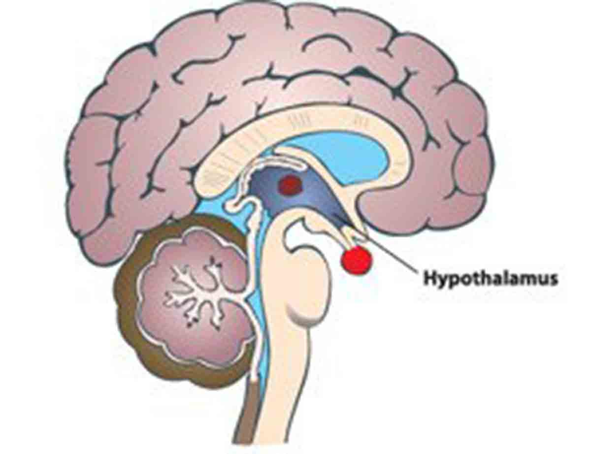 Hoodia acts on the Hypothalamus